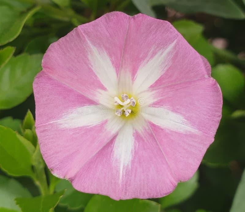 Ivy Flower selvaggia unica fotografie stock libere da diritti