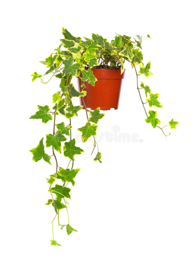 Ivy in flowerpot royalty free stock images