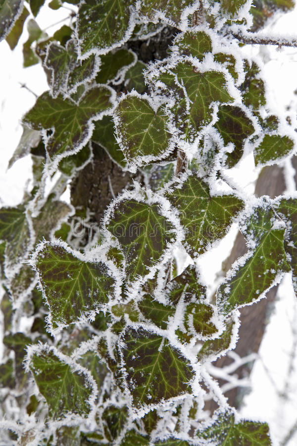 Download Ivy in frost stock photo. Image of plant, frost, green - 21967946