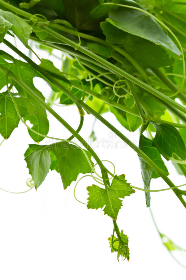 Download Ivy gourd stock image. Image of nature, organic, gourd - 24793541