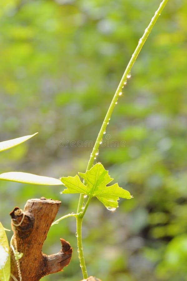 Ivy gourd branch growth in garden. Ivy gourd branch growth in the garden royalty free stock photography