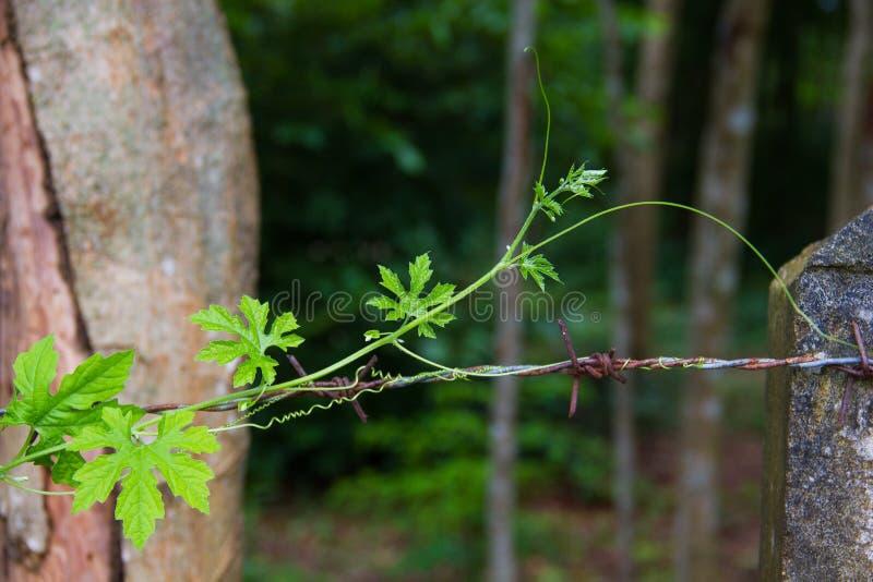 Ivy Gourd está crescendo ao longo da cerca do arame farpado imagem de stock royalty free