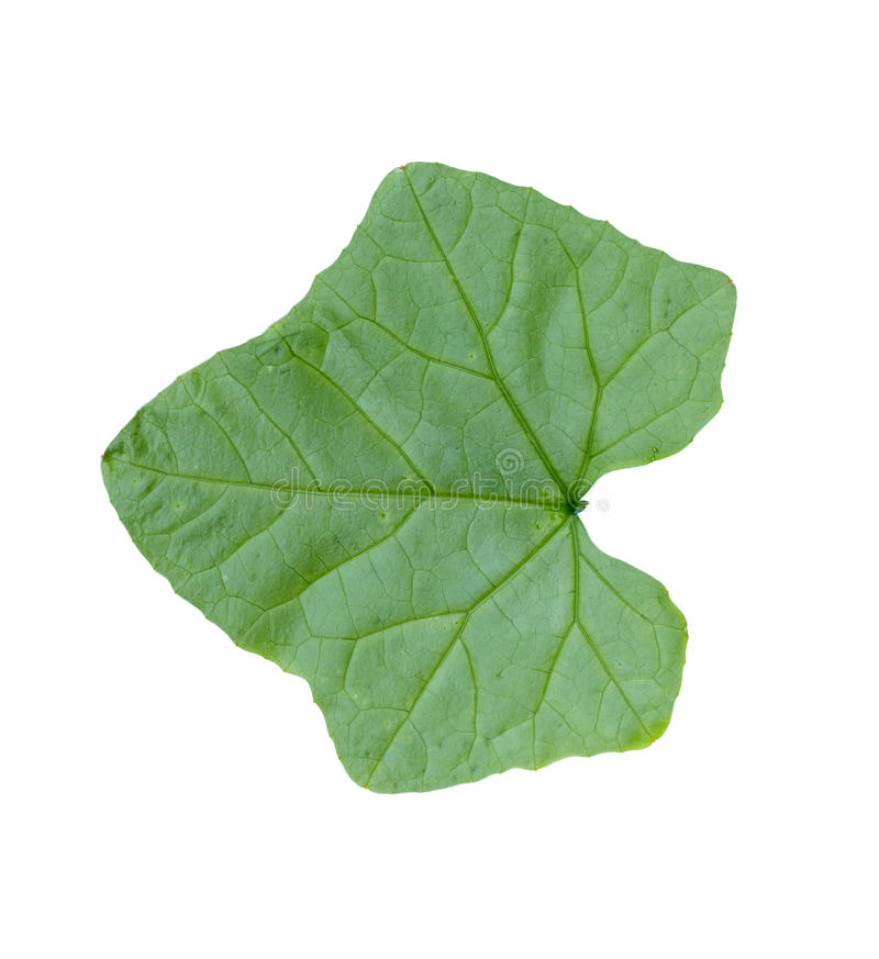 Ivy gourd leaf isolated white background royalty free stock photo