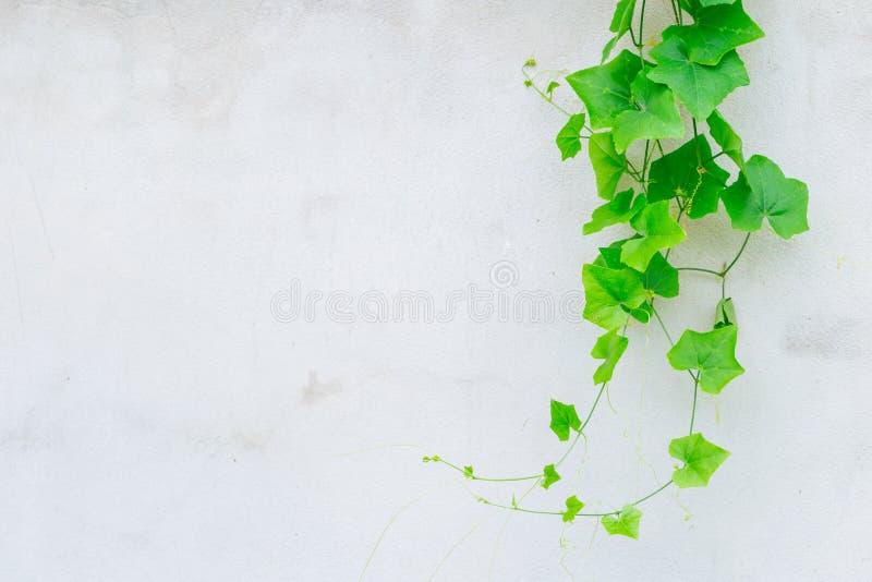 Ivy Gourd no muro de cimento cinzento fotografia de stock royalty free