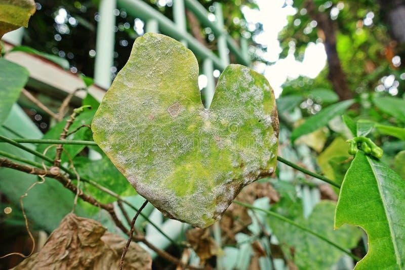 Ivy Gourd um vegetal tropical da videira, doença de planta nas folhas foto de stock royalty free