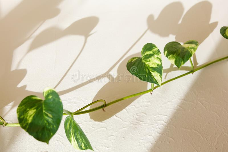 Ivy green leaves. And shadow on the wall stock image