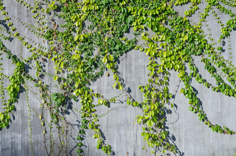 Ivy Green On Wall For Decorate Stock Photography