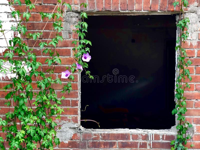 Ivy Growing On Brick Wall avec une vieille fenêtre image libre de droits