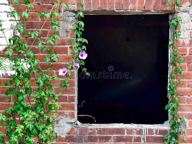 Ivy Growing On Brick Wall con una vecchia finestra immagine stock libera da diritti