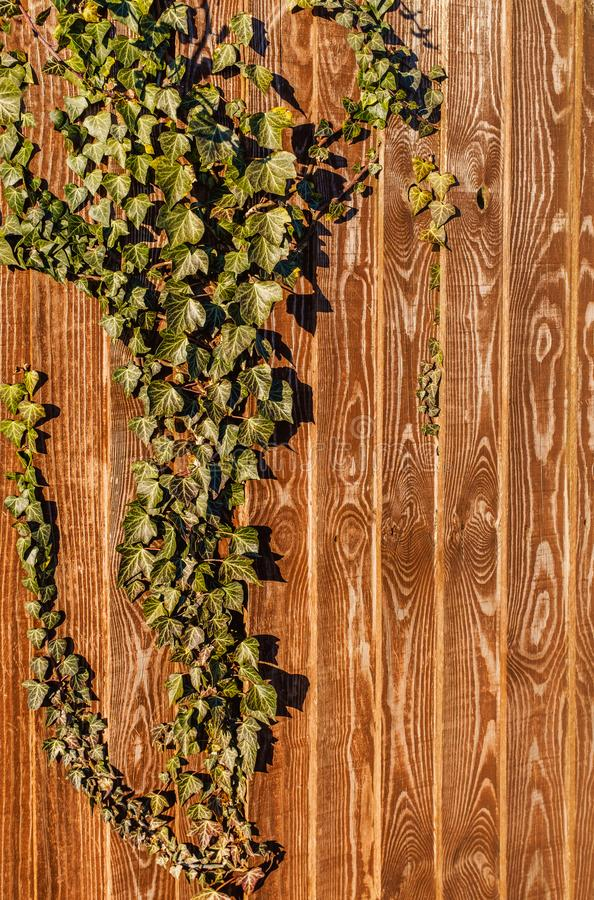 Ivy growing on a golden brown wooden fence with vertical panels with an interesting natural pattern of light and dark colours royalty free stock photos