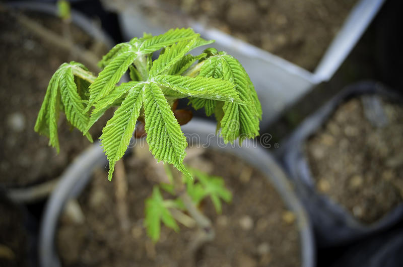 Ivy growing in pot. Ivy waiting to be sold royalty free stock image