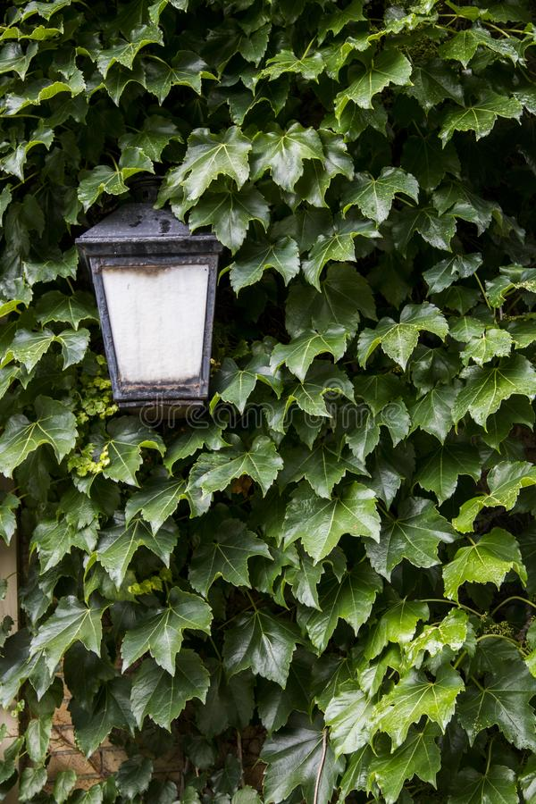 Ivy growing on the side of a house near the front door stock images