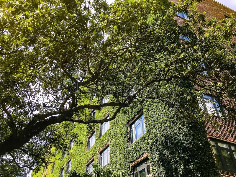 Ivy Walls On A Tall Brick Apartment Building Stock Photo Image