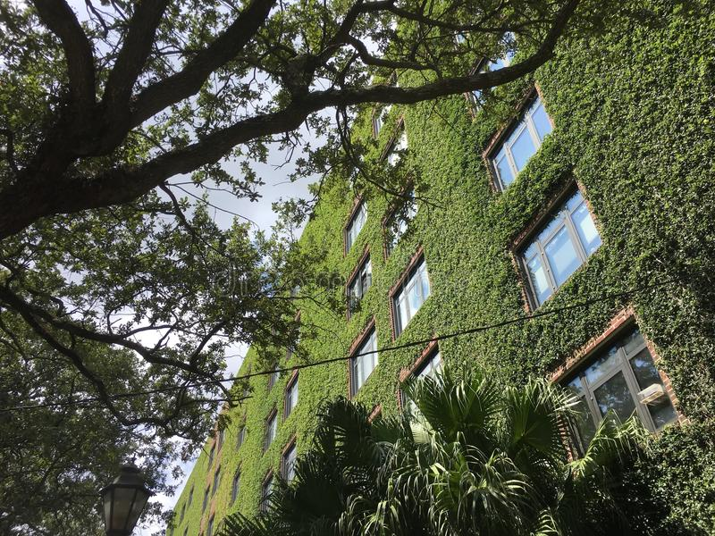 Download Ivy Walls On A Tall Brick Apartment Building Stock Image   Image  Of Natural,