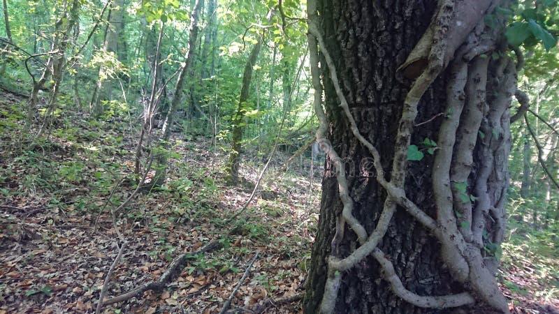 Ivy Growing Up een Boom in een Bos stock afbeeldingen
