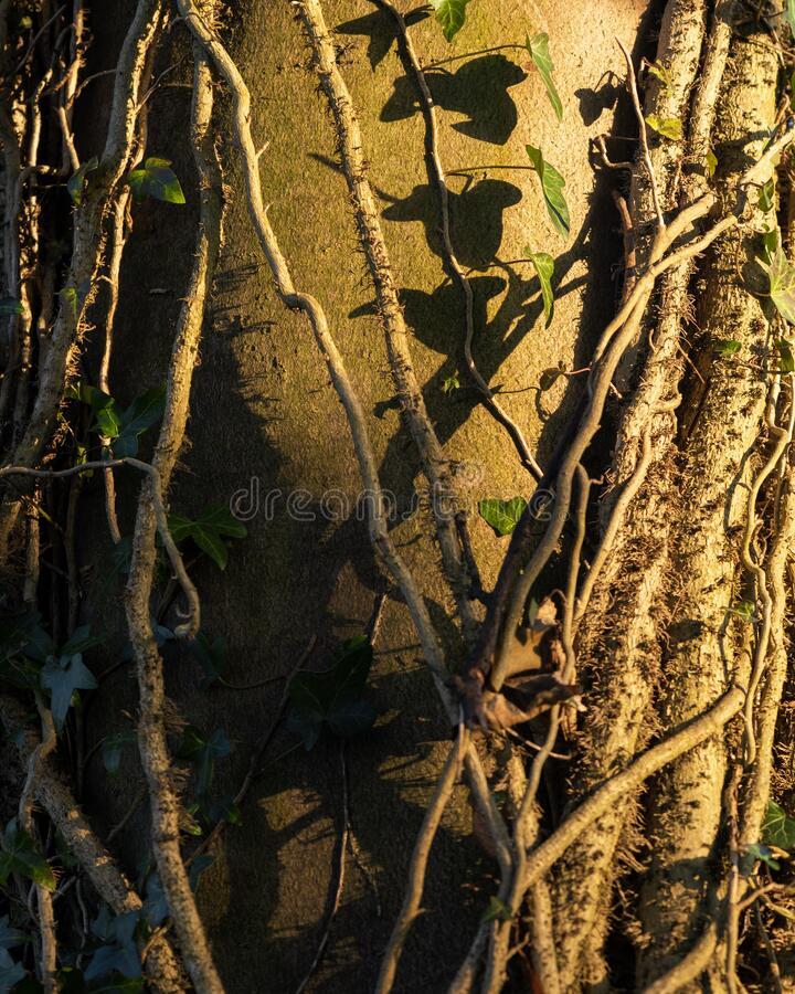 Ivy growing up tree trunk royalty free stock images
