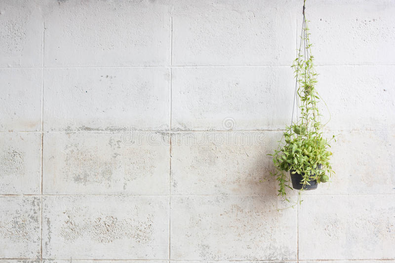 Ivy Grown In Plastic Pots Hanging On The Walls. stock images