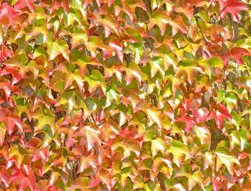 Download Ivy Growning Up A Wall -  Background Stock Image - Image: 26547137