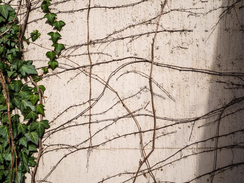 The ivy grows on a house wall. Green sheets of a plant. Dry branches royalty free stock photo
