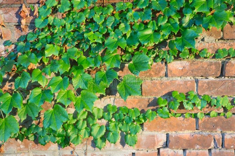 Ivy Grows sur un mur de briques à Schenectady, NY photo stock