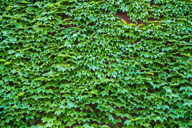 Ivy Hedera Parete coperta di fogliame Priorità bassa verde naturale fotografia stock libera da diritti