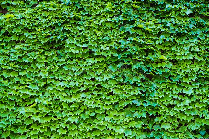 Ivy Hedera. Wall covered with foliage. Natural green background. Leaf Texture Background royalty free stock photography