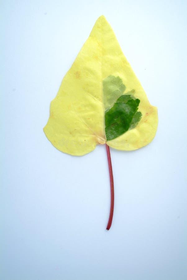 Ivy Leaf fotos de archivo