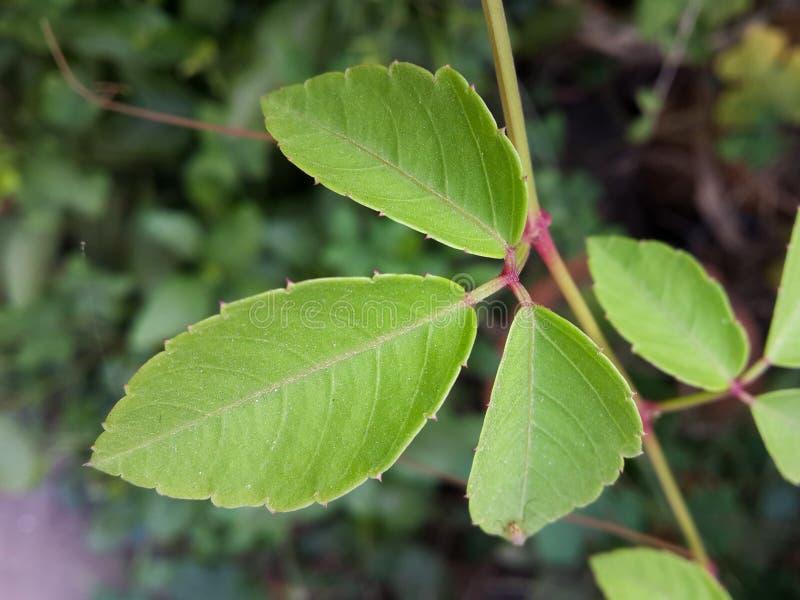 Ivy Leaf lizenzfreie stockfotos
