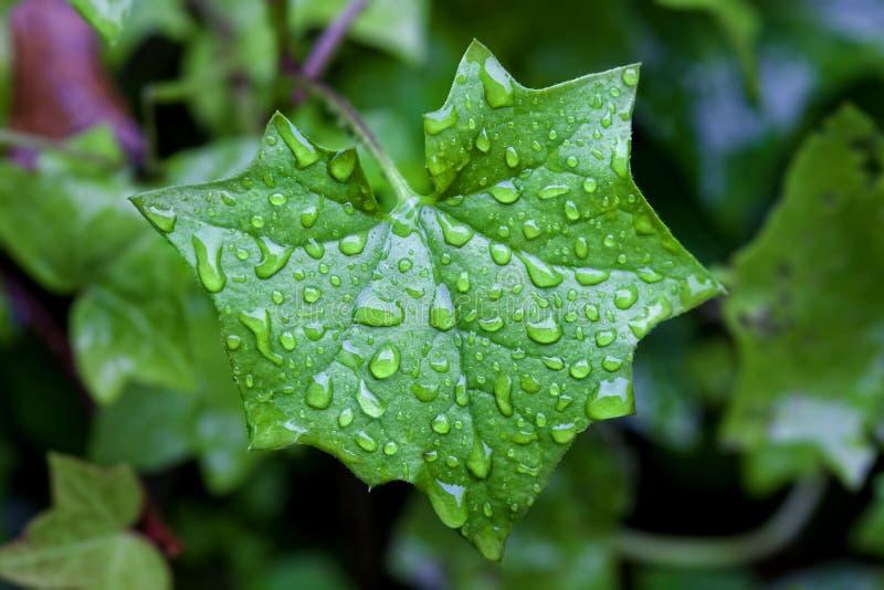 Download Ivy leaf stock photo. Image of alone, rain, flora, macro - 40009092
