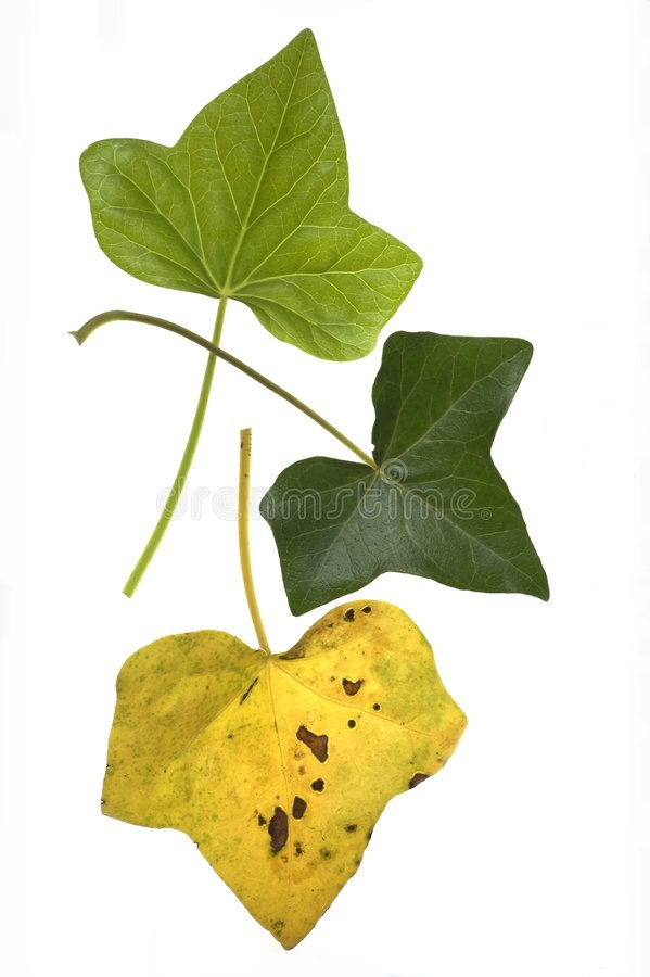 Ivy Leaf Lifecycle royalty free stock images
