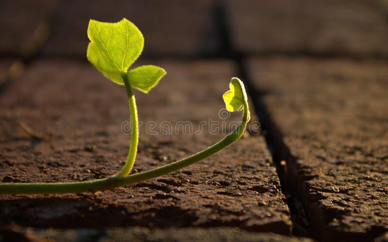 Ivy Leaf rampicante fotografia stock libera da diritti