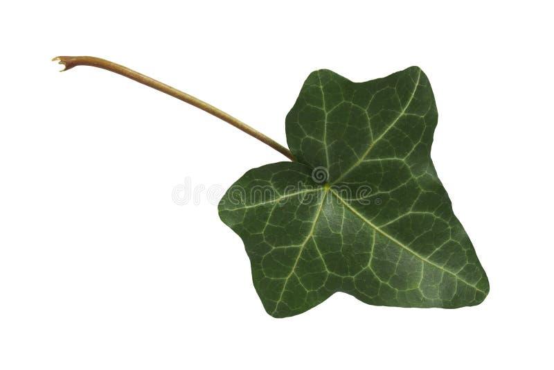 Ivy leaf on white stock photo