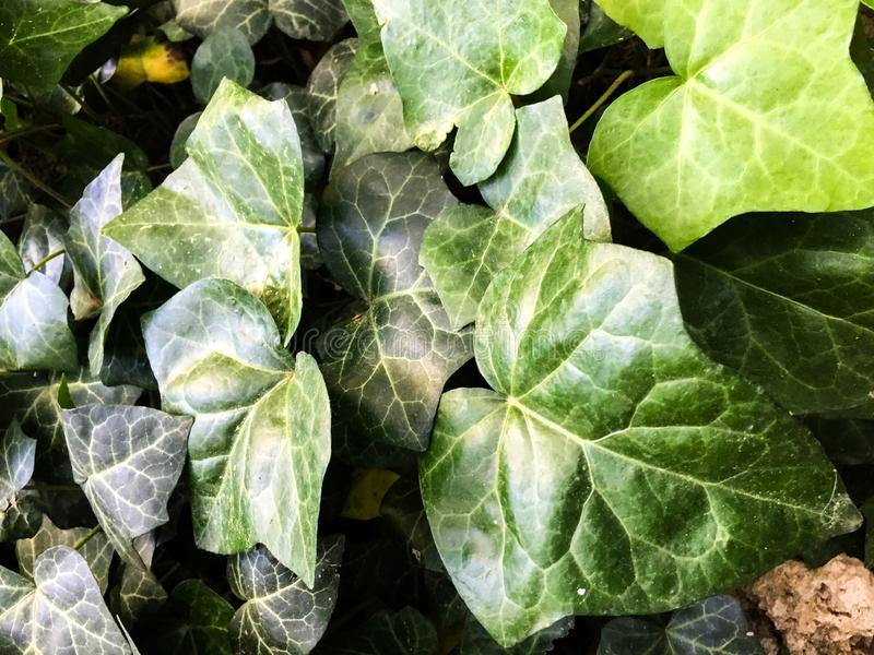 Ivy leaves. Close up background stock photography