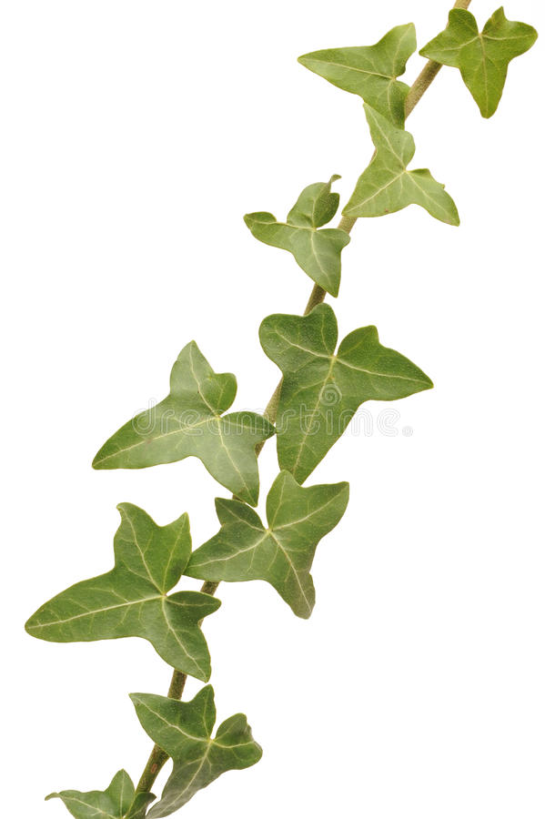 Ivy leaves. Photograph of ivy leaves shot in studio and isolated on a white background stock photo