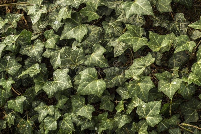 Ivy Leaves stock fotografie