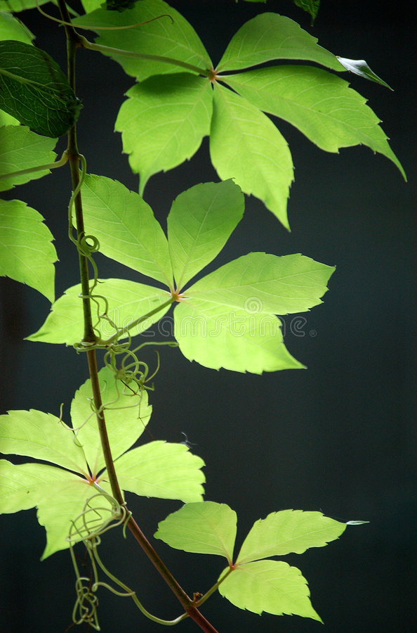 Ivy leaves. Beautiful ivy leaves in summer stock images