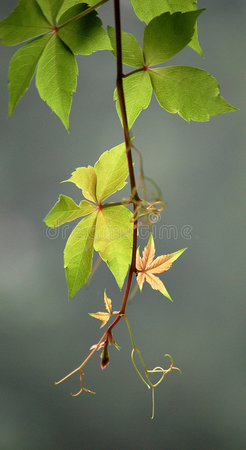 Ivy leaves. Beautiful fresh ivy leaves in summer stock photo