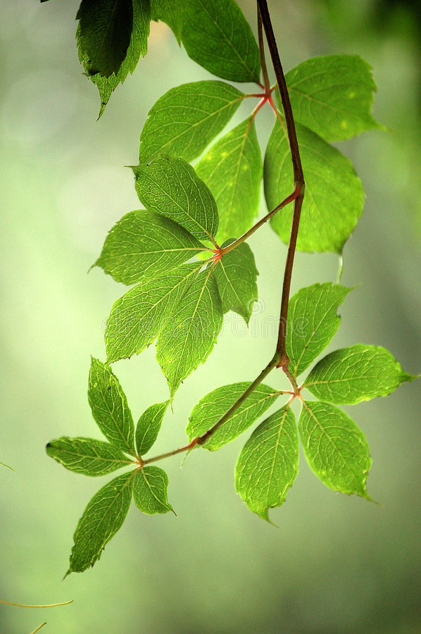 Ivy leaves. Beautiful ivy leaves in summer royalty free stock photos