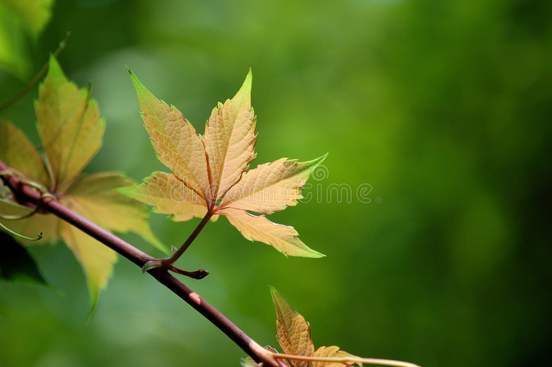 Ivy Leaves royalty free stock image