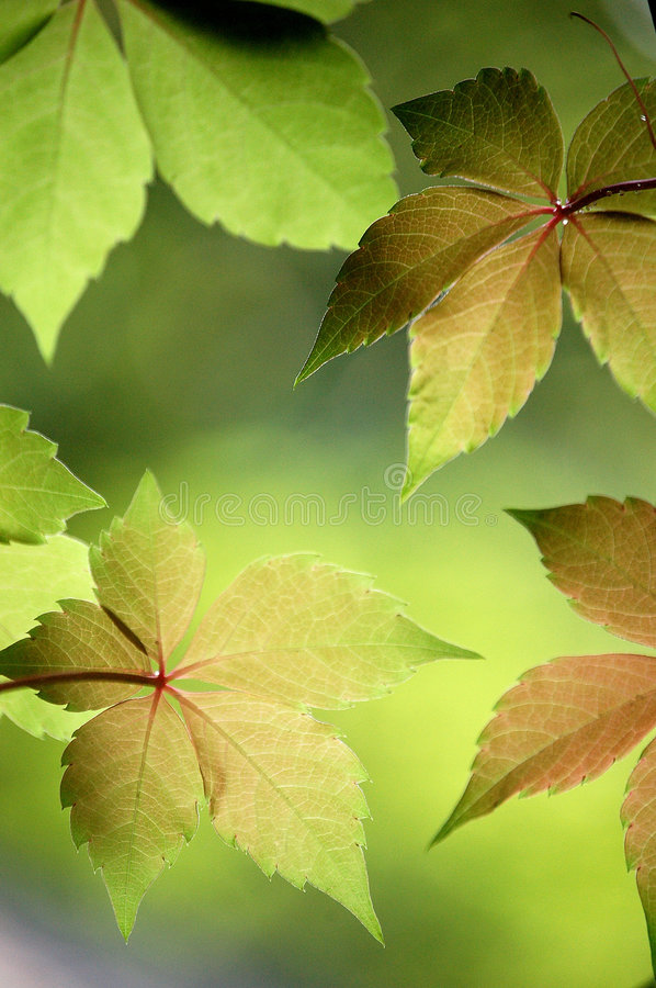 Ivy Leaves. Close up of fresh ivy leaves in a garden in summer stock image
