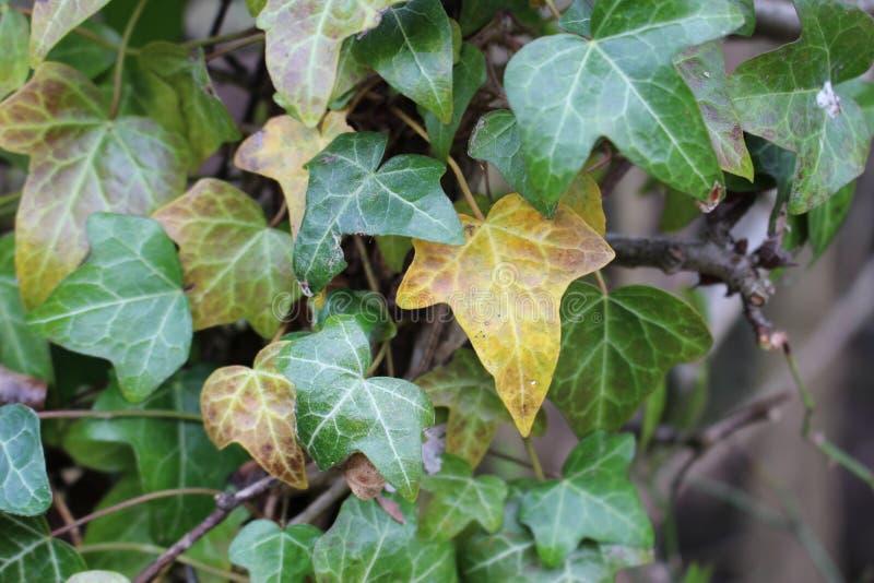 Ivy Leaves image libre de droits