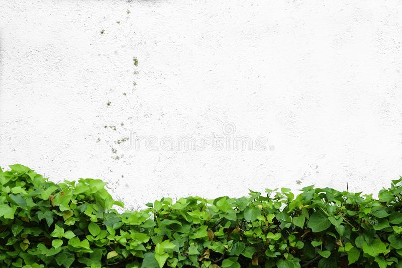 Ivy leaves against a white wall in a garden. Natural background and empty copy space. For Editor text royalty free stock image