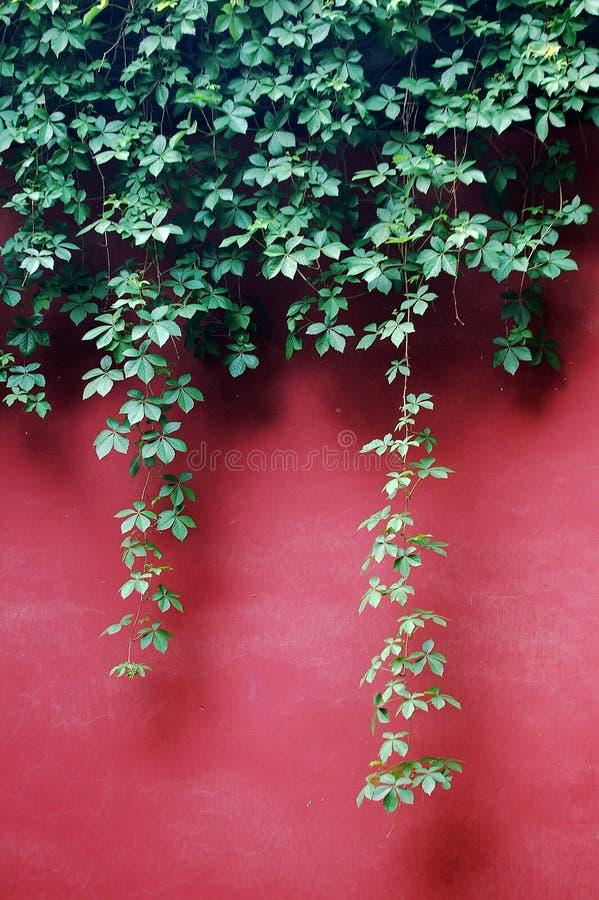 Ivy Leaves auf roter Wand lizenzfreie stockfotos