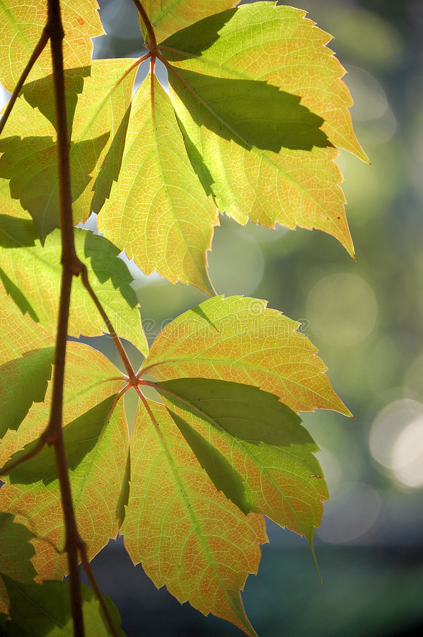 Ivy Leaves in autumn, close up. Ivy leaves changing their color in autumn, shot against sunlight royalty free stock image
