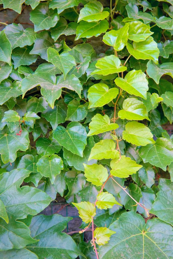 Ivy leaves. The close-up of ivy leaves stock photography