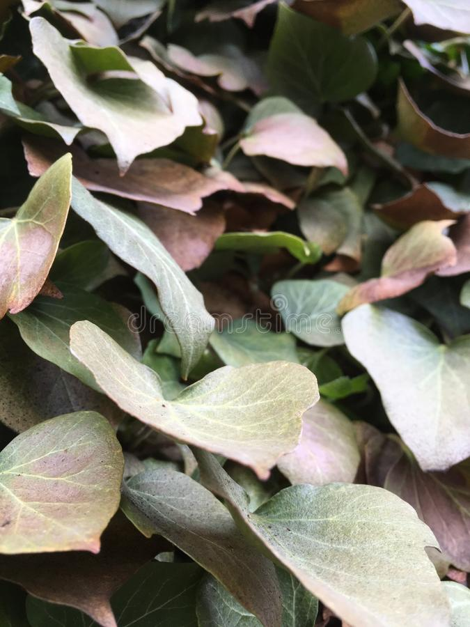 IVY LEAVES royalty free stock photos