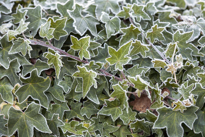 Frost on Ivy Leaves. Ivy leaves covered with frost on a cold winter morning stock image
