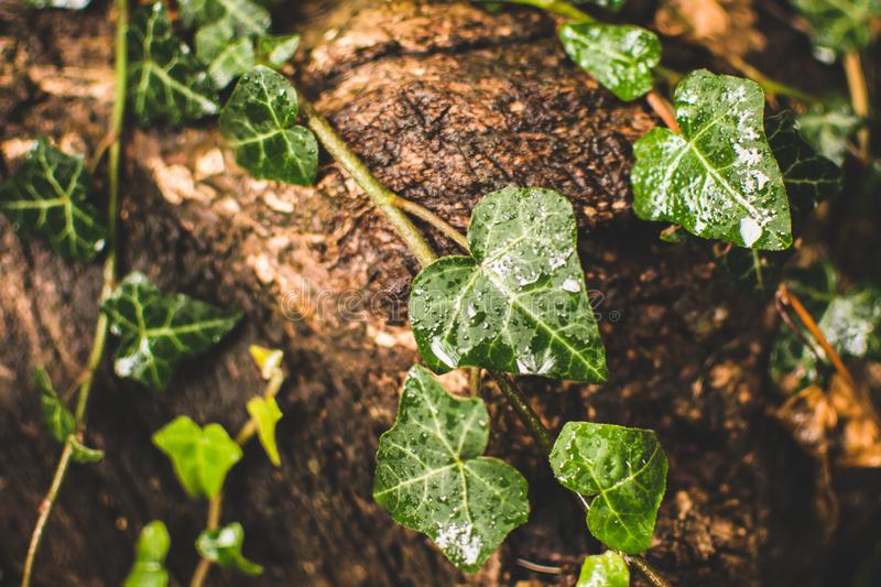 Ivy Leaves. Green ivy leaves tinkle on wood, leaf, background, nature, climbing, plant, helix, foliage, hedera, natural, pattern, summer, spring, outdoor, close royalty free stock photography
