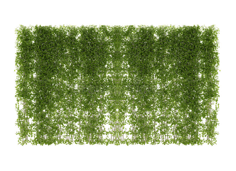 Ivy leaves isolated on a white. Ivy leaves isolated stock photos
