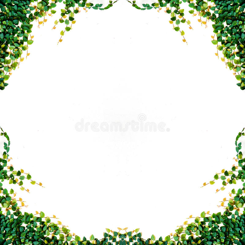 Ivy leaves isolated. On a white background stock photo